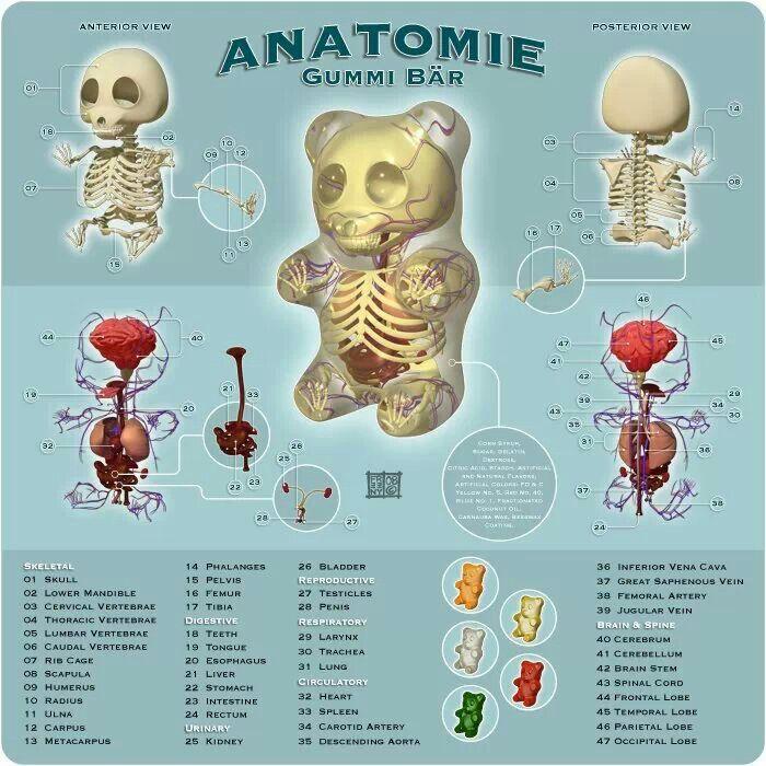 Anatomía oso gominola | ♥like | Pinterest | Gominola, Anatomía y Osos
