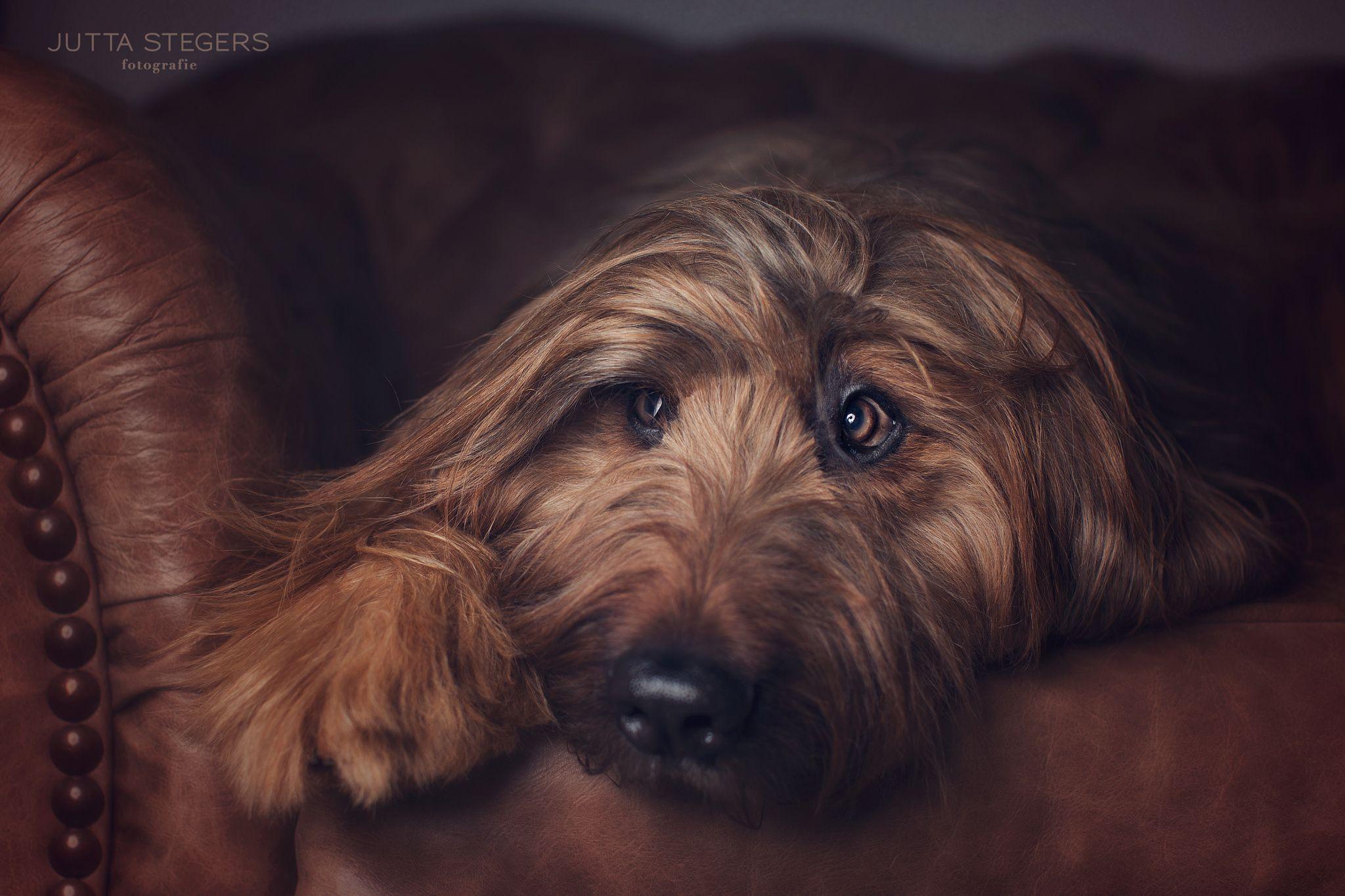 Briard bien cómodo en el sofá... (by Jutta Stegers)