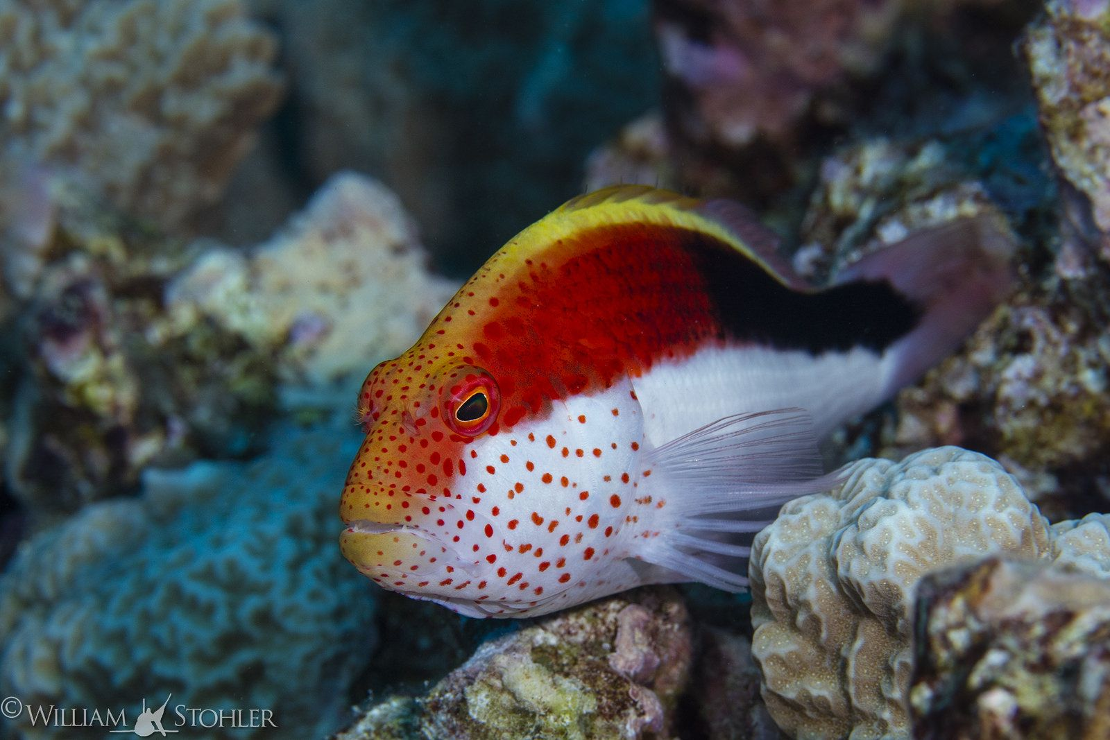 Hawkfish WES_6549 | Marine fish, Marine aquarium fish and Aquariums