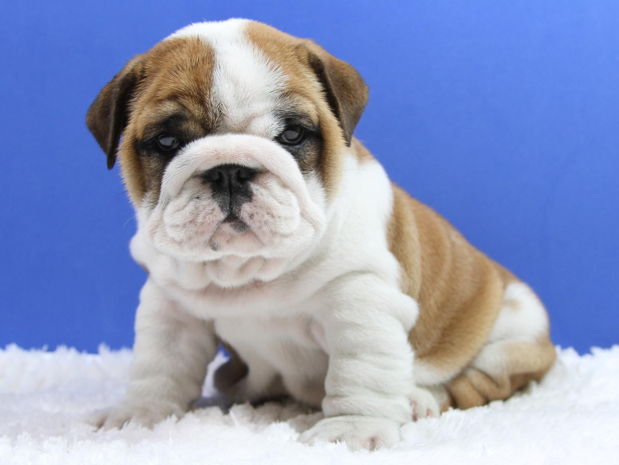 Avalaible English Bulldog Homes Dogs English Bulldog Puppies
