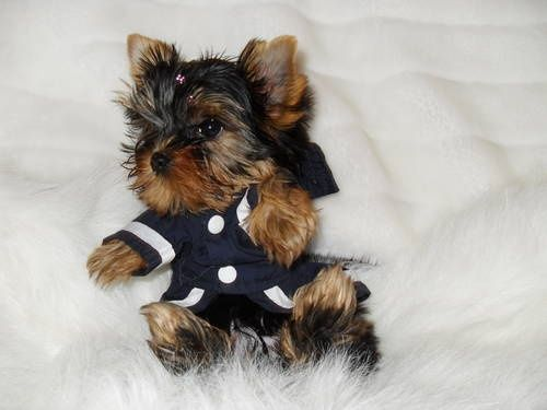 Adorable Tiny Yorkie Pinteres