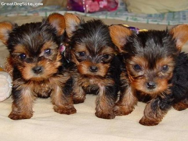 Yorkshire Terrier 1 Month Brown Brown Black Gray Teacup Yorkie Puppy Yorkie Puppy Yorkshire Terrier Puppies