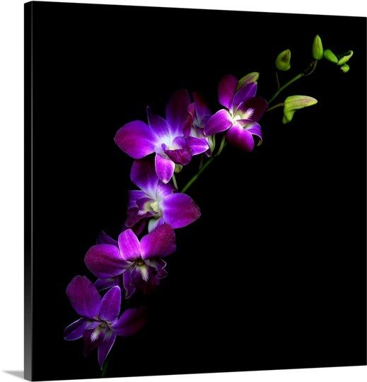 Purple Dendrobium Orchids Orchid Wall Art Purple Orchids