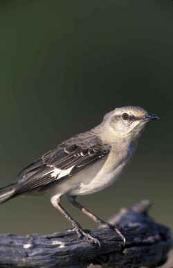 state symbol florida state bird northern mockingbird