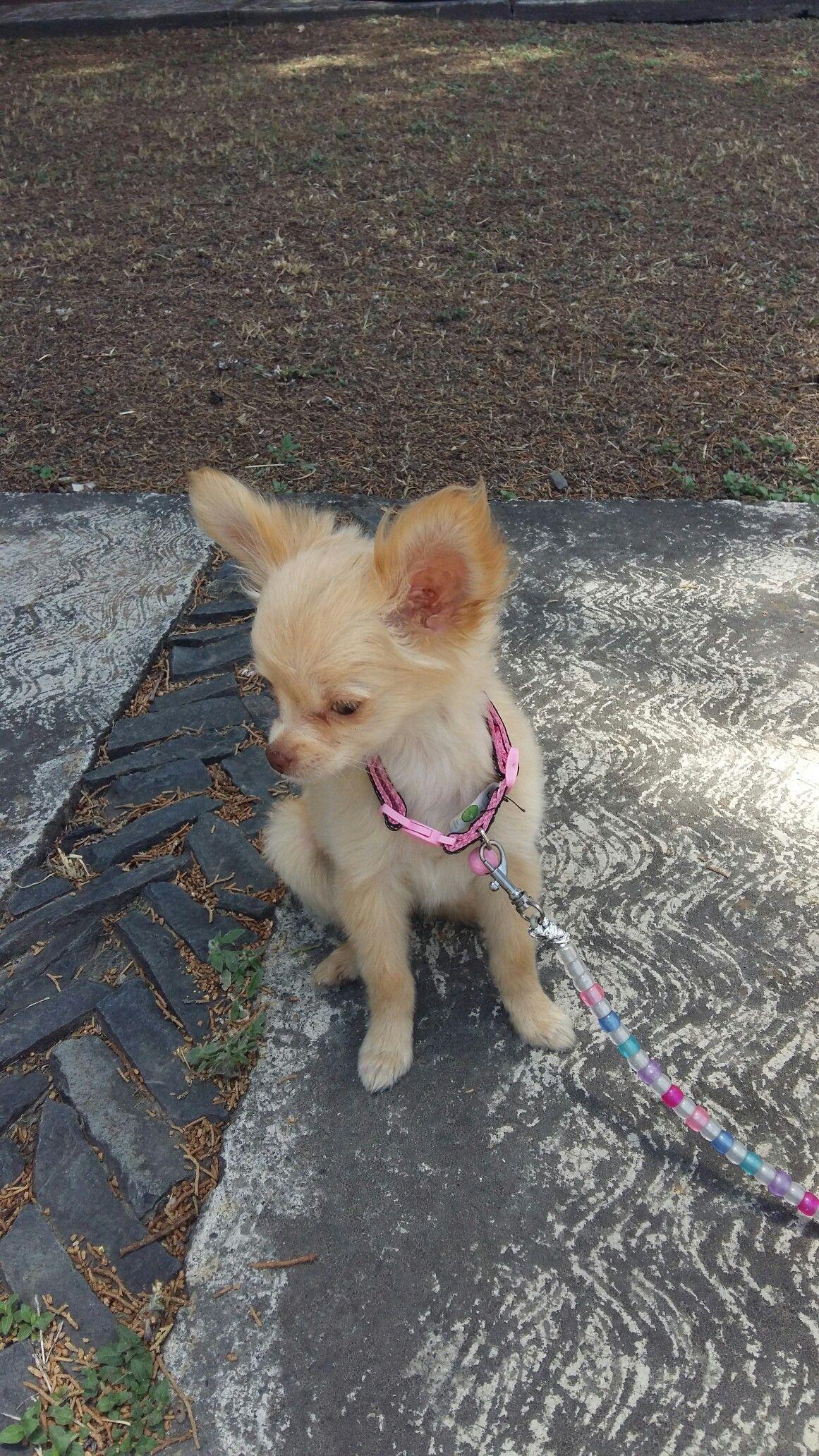 Chihuahua Long Hair Animals And Pets Chihuahua Animals