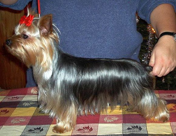 Yorkie Haircuts Styles Physical Characteristics Of Teacup