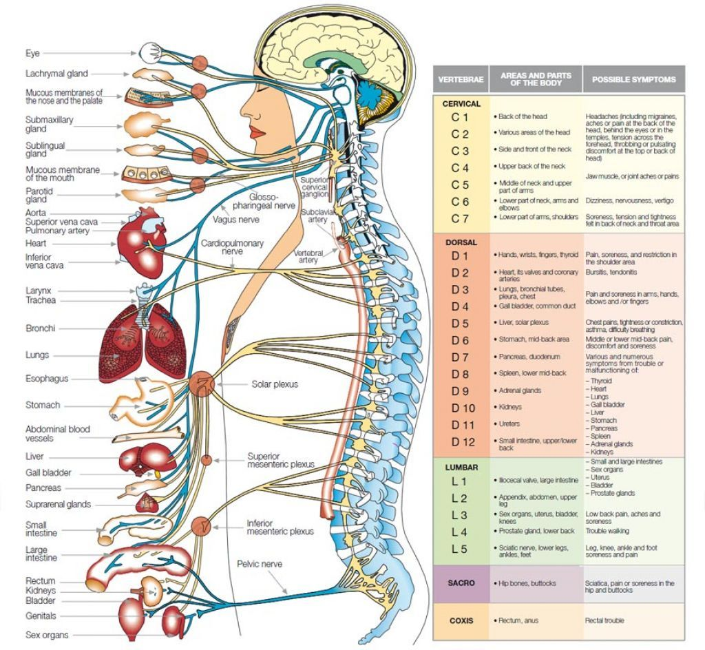 Labeled Diagram Of The Nervous System Human Anatomy Organs Back