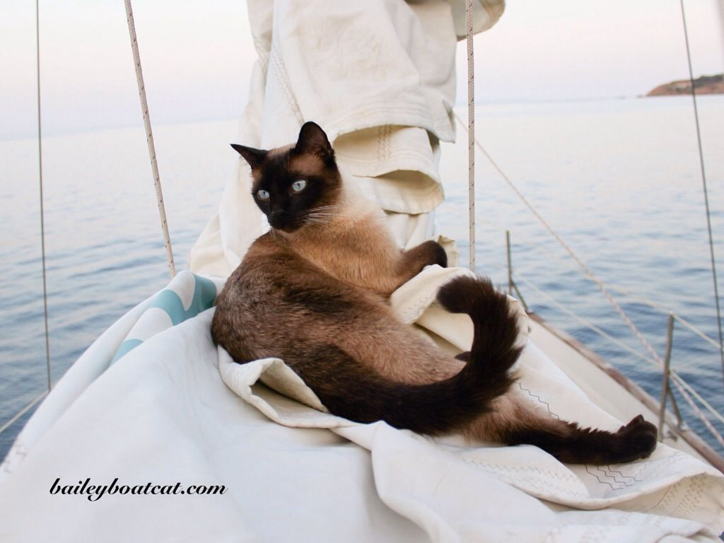 Cuteness Overload Cat On A Boat Everything Is Going To Be Just Tonkinese Cat Siamese Cats Cats