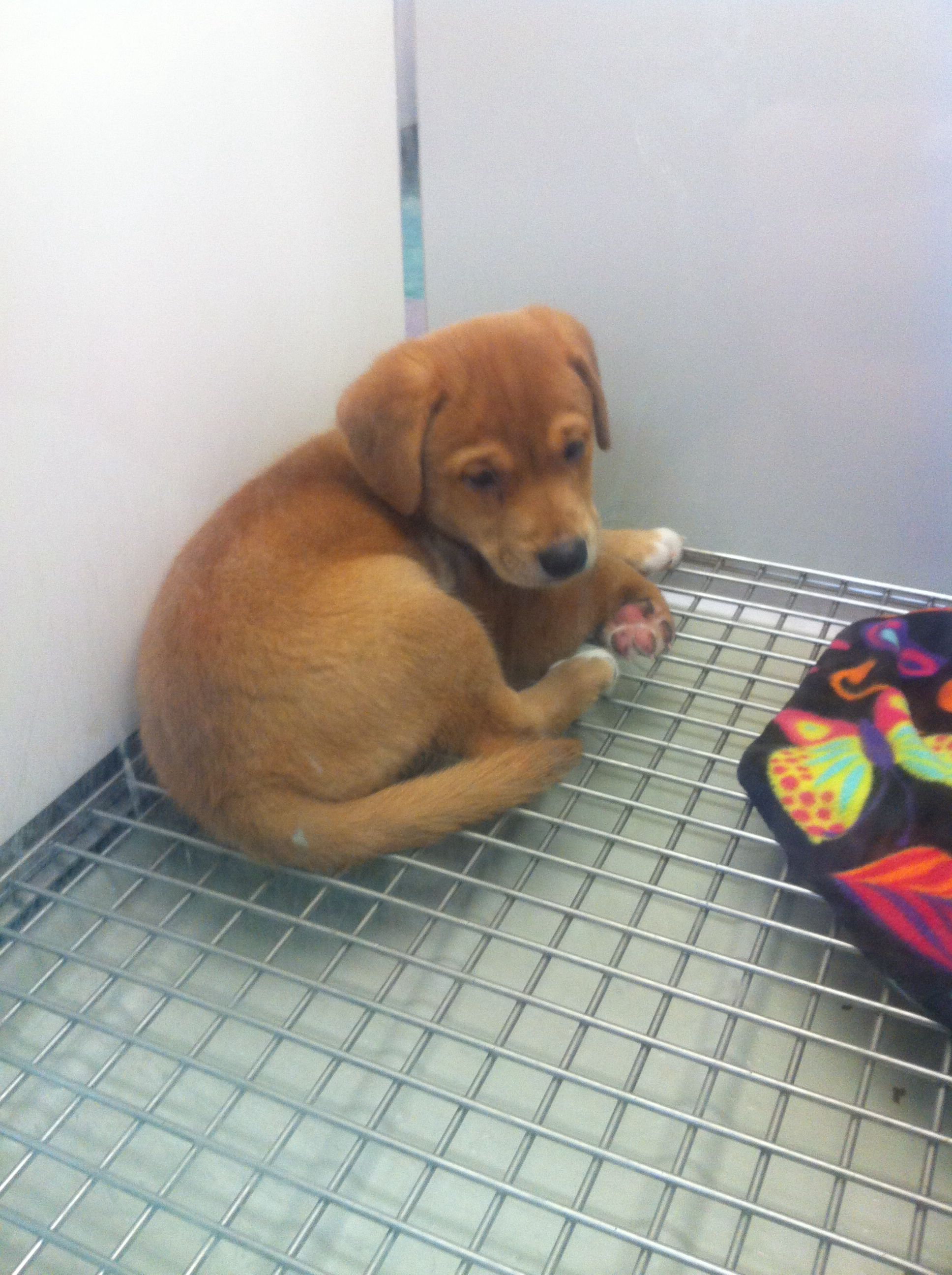 Shiba Inu Beagle Mix Shiba Inu Mix Beagle Mix