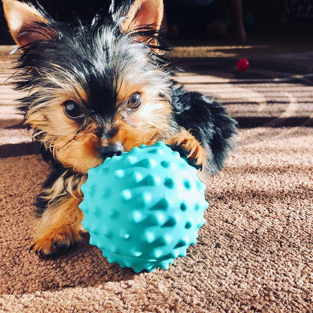 Yorkie Puppies For Sale Tiny House Mates In 2020 Puppies For