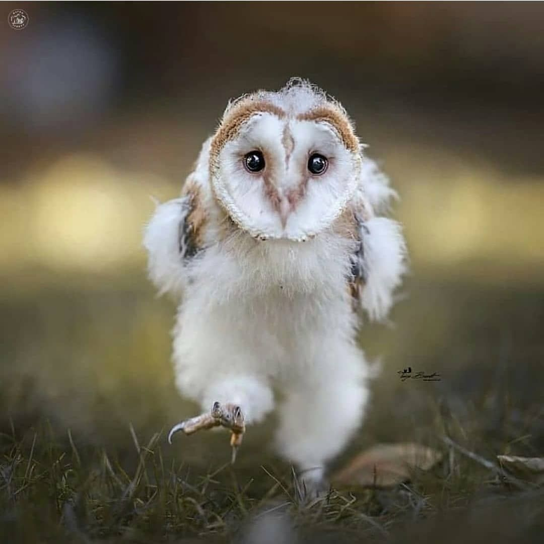 Pin by Tere Gidlof on Birds-Owls. in 2020 | Baby barn owl ...