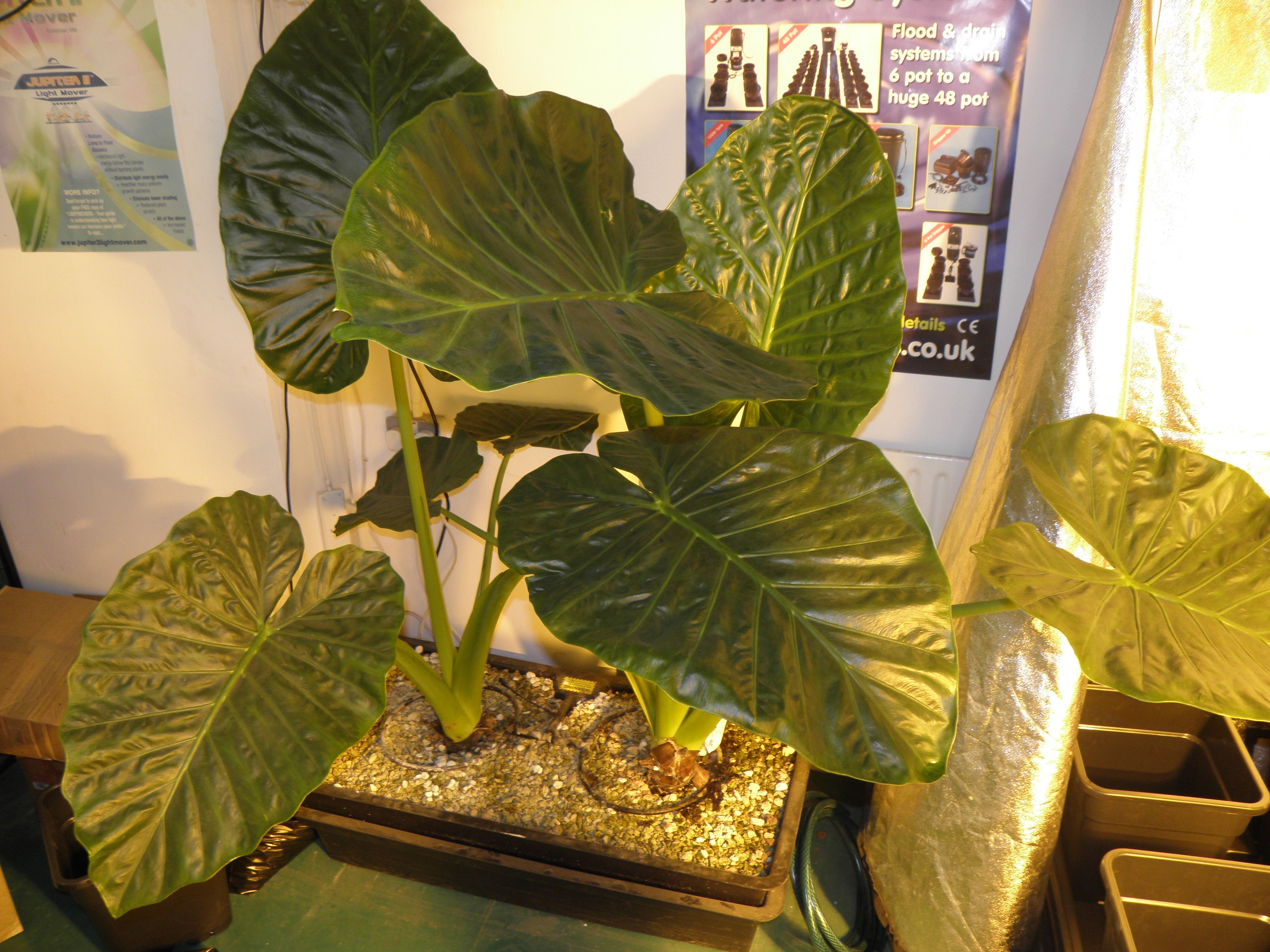 An Alocasia plant, usually grown in tropical environments like Asia ...