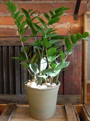 Zz plant zamioculcas zamiifolia tropical plants plante interieur - Cactus porte bonheur ...