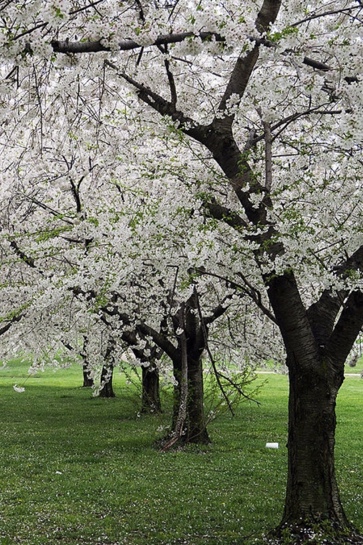 Cherry Blossom Trees Are Perfect For Bringing Some Color To Your Landscape Early Each Season Cherry Blossom T Cherry Blossom Tree Tree Flowering Cherry Tree