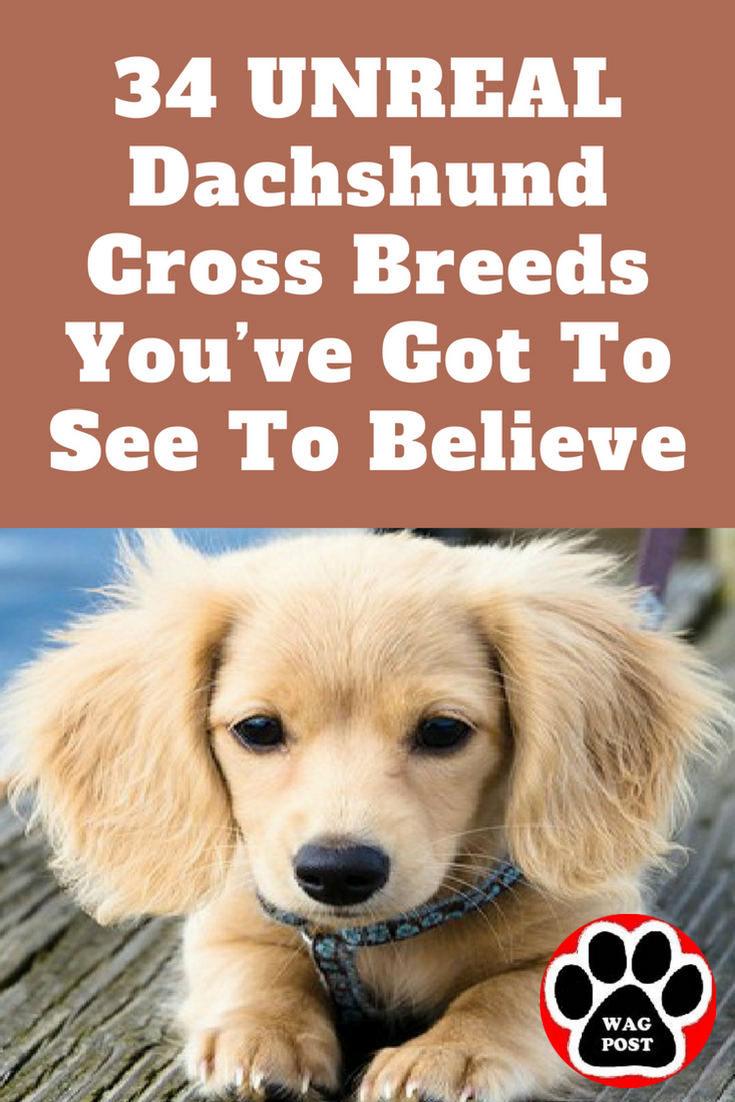 34 Unreal Dachshund Cross Breeds You Ve Got To See To Believe Dachshund Cross Chiweenie Dogs Mixed Breed Puppies