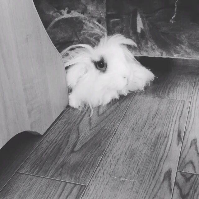 Rabbit Gavr