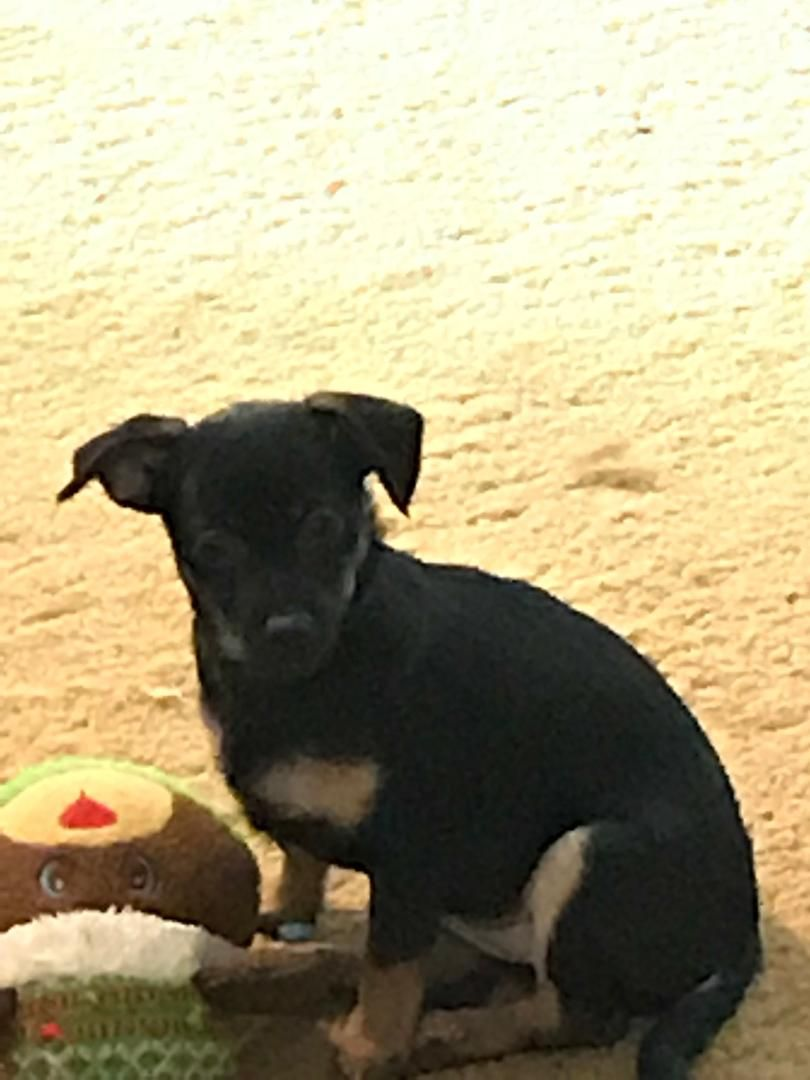 Chiweenie Dog For Adoption In Colorado Springs Co Adn 696730 On