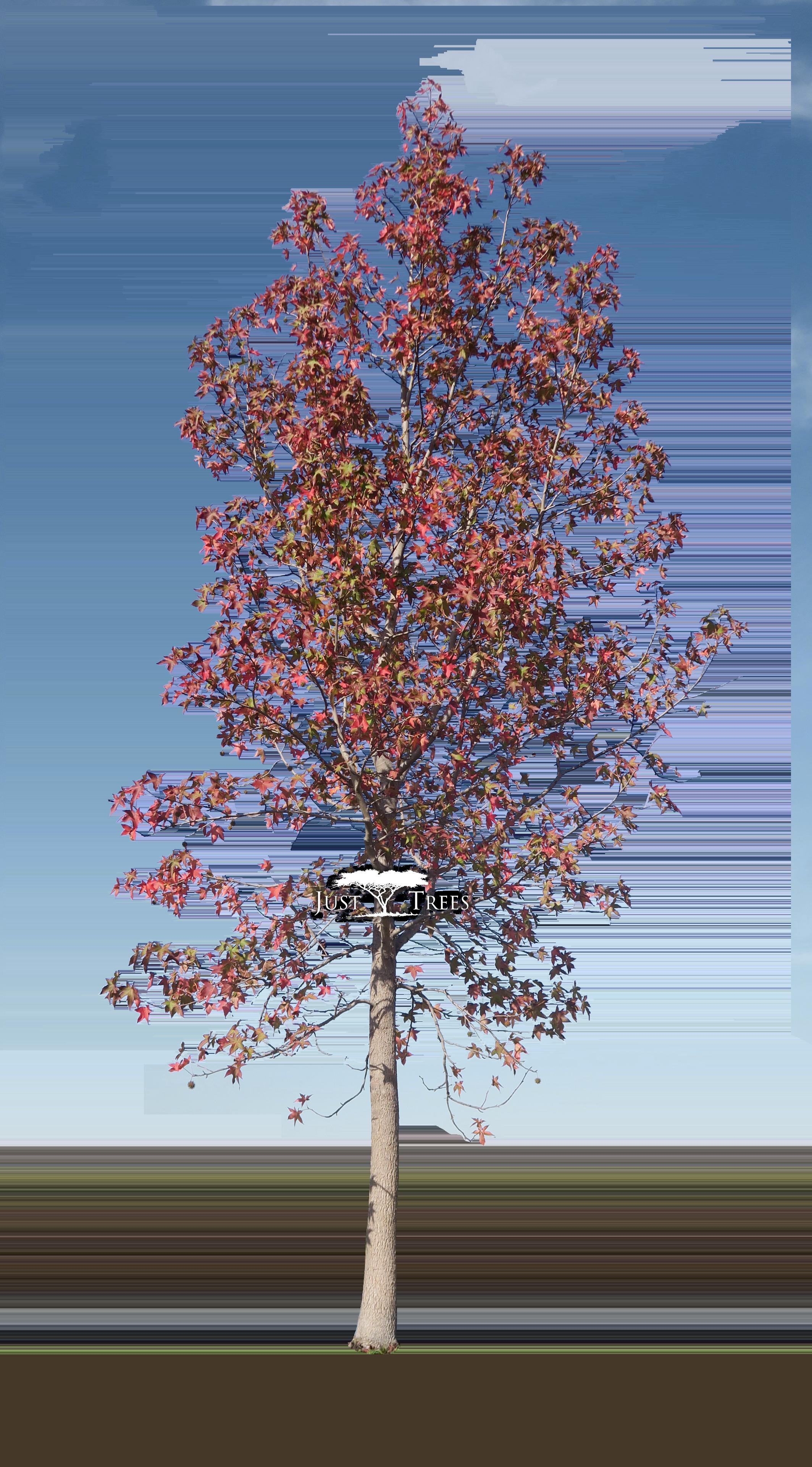 Liquidambar styraciflua common name sweet gum autumn for Garden design under gum trees
