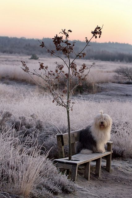 Someday I'm getting  an Old English Sheepdog.