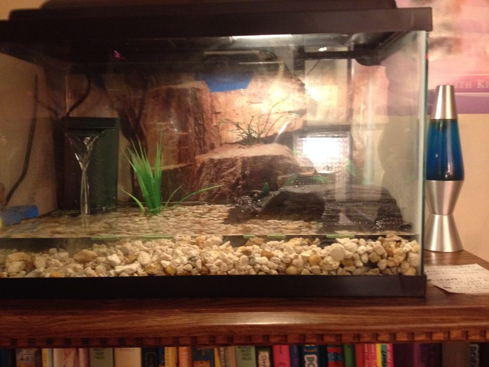 My Baby Snapping Turtle Tank Turtle Home Pinterest