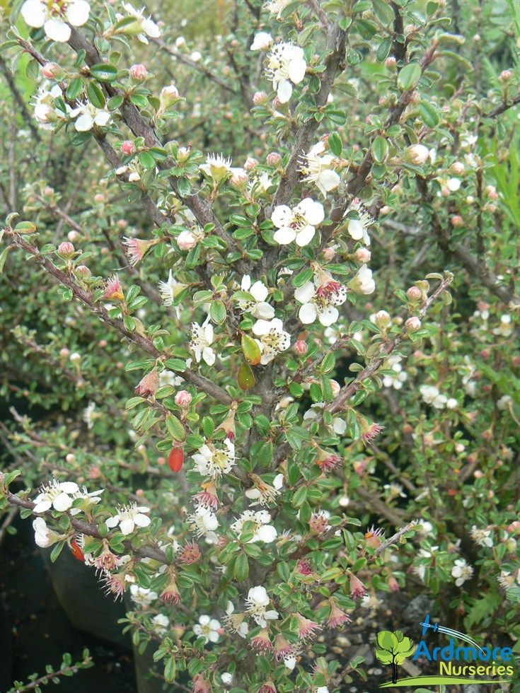 Low growing evergreen shrub Cotoneaster Microphyllus