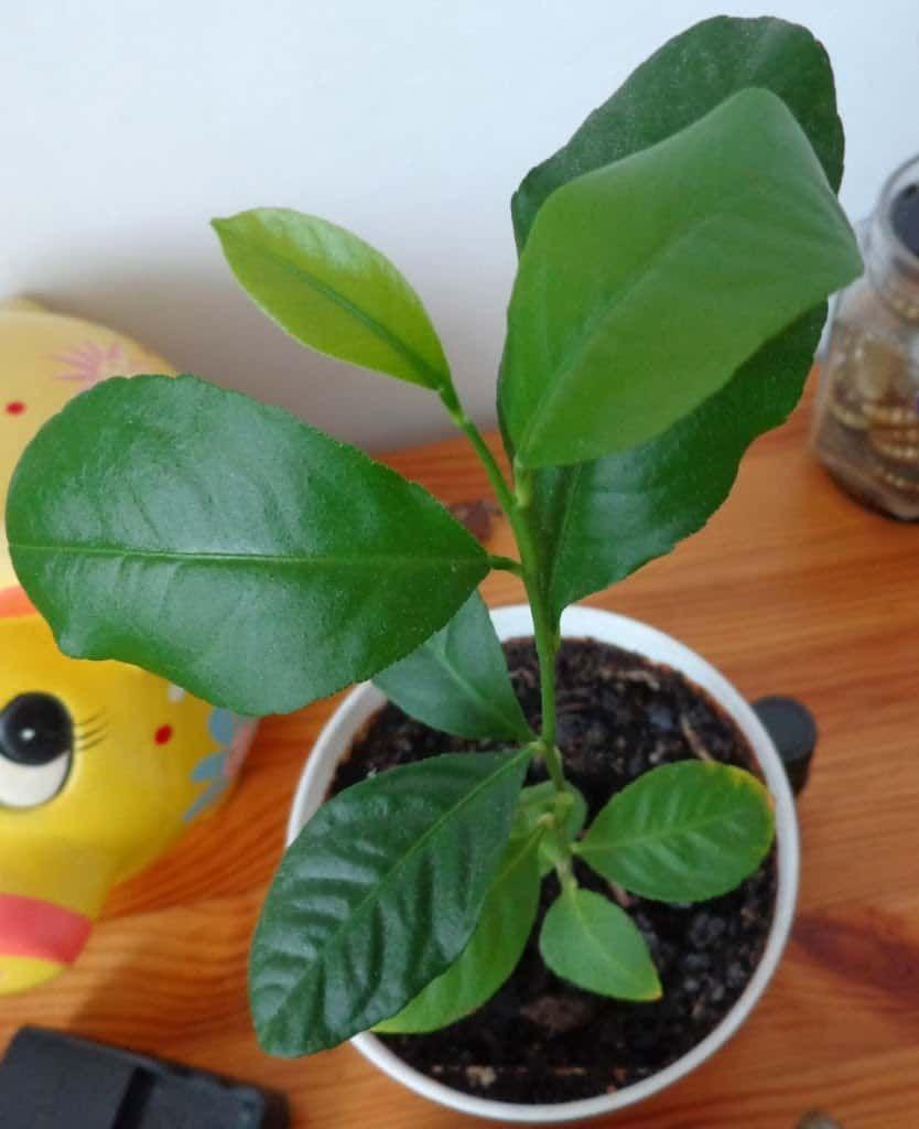 Uprawa Cytrusow W Domu Sposob Na Wszystko Porady Domowe Sposoby Jak Zrobic Plants Plant Leaves House Plants