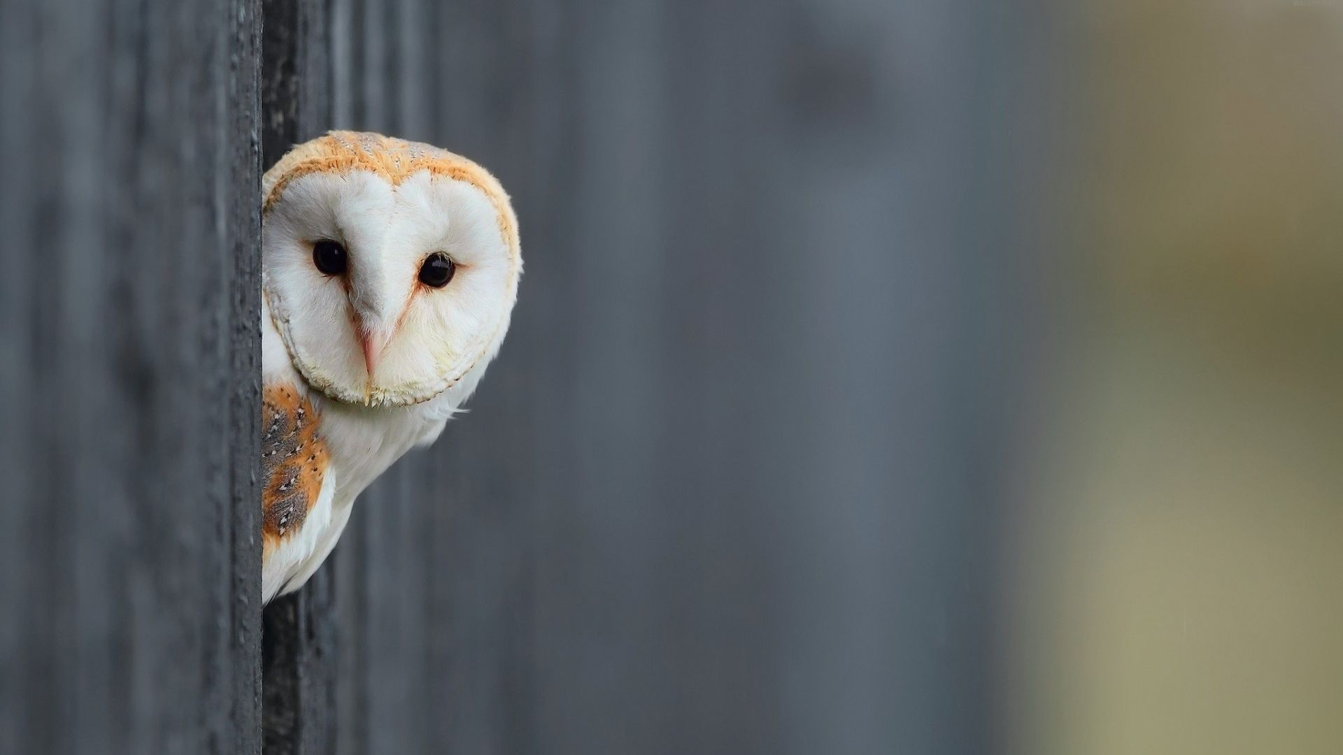 Owl HD Wallpapers Earth Blog 1024×576 White Owl Wallpapers
