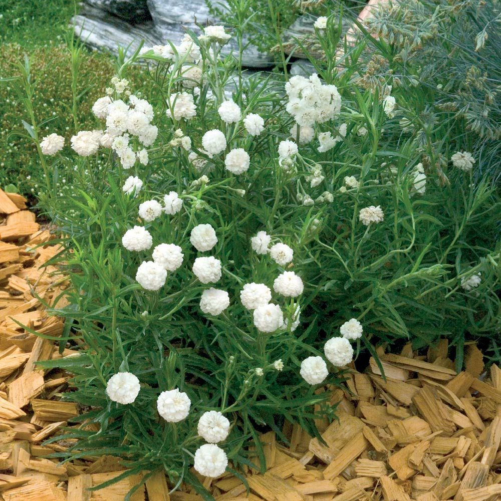 Achillea ptarmica noblessa white flowers summer and compact clouds of tiny double white flowers billow at the edge of the summer border dhlflorist Image collections