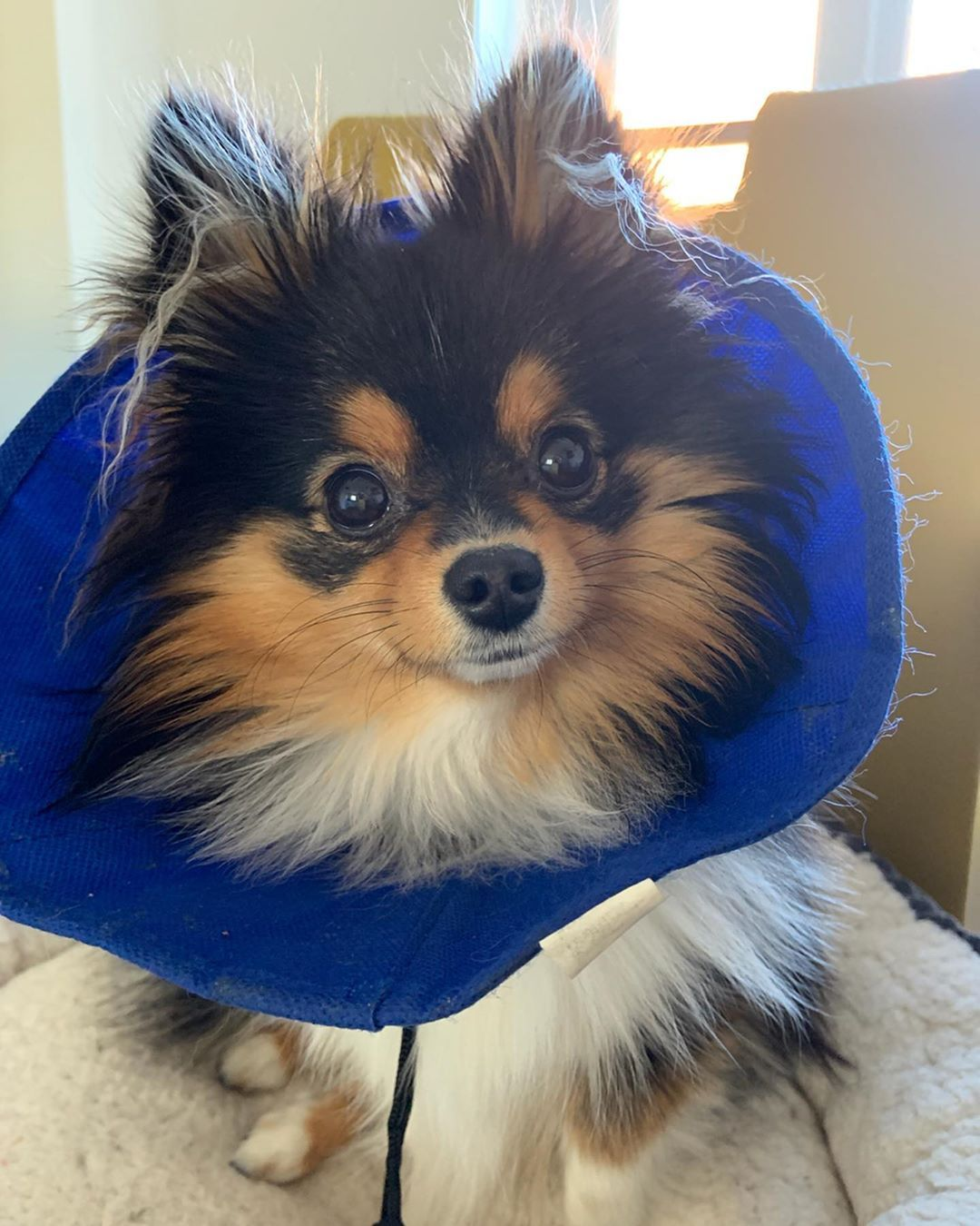 So Im Still Wearing My Cone But Feeling Better A Week After My Operation So Now I Get To Sit On The Chair Next To My Mu Dog Breeds Beautiful Dogs