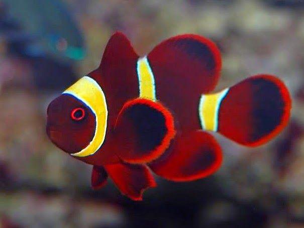 Peces y plantas ornamentales premnas biaculeatus pez for Manual de peces ornamentales