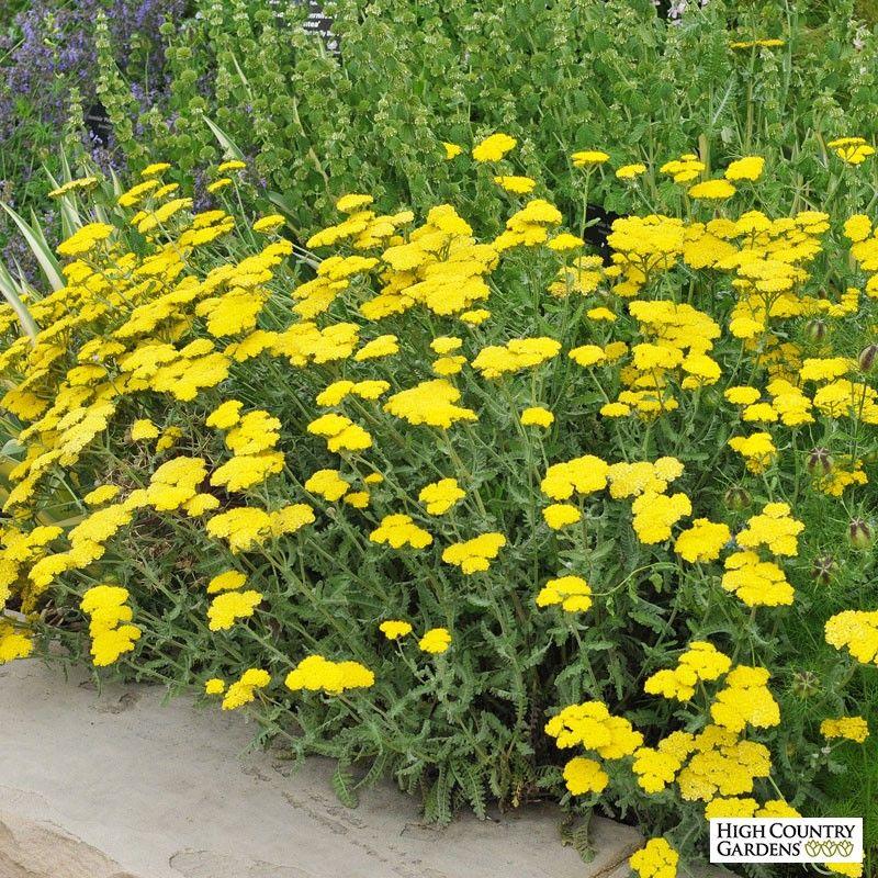 Moonshine' Yarrow (Achillea Moonshine) is an outstanding ... Yarrow Plant Yellow
