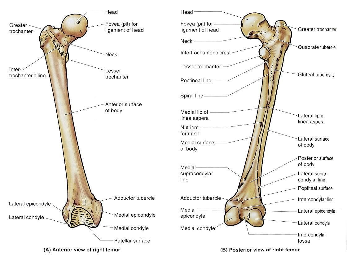 Femur Bone Diagram Google Search Boneanatomy Bones Skull