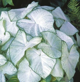 Bulwy Caladium Kaladium Plants Moon Garden Hosta Plants