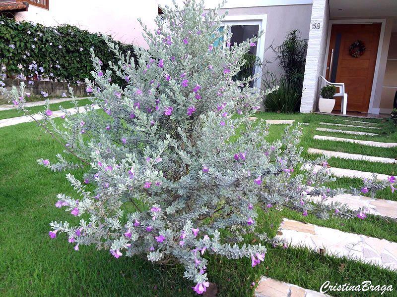 Folha De Prata Leucophyllum Frutescens Arbusto Flores