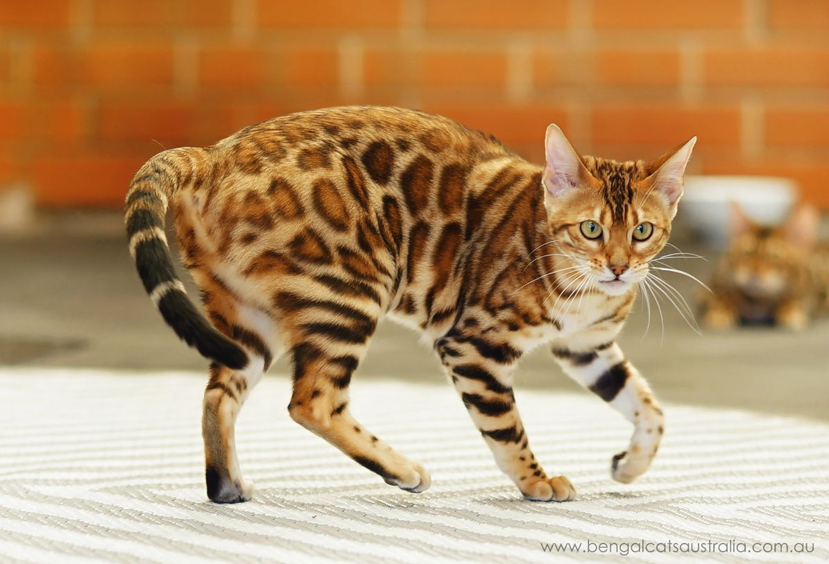 Meet The Bengal Cats And Kittens Of Ashmiyah Bengals Bengal Cats Australia What More Could One Want In Life We Hope Kittens Cutest Bengal Cat Bengal Kitten