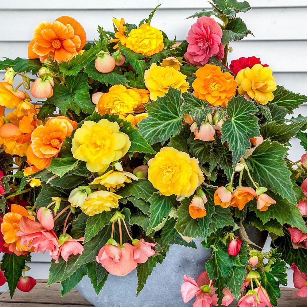 Breck S Multi Color Flowers Double Flowering Hanging Basket Begonia Bulb Mixture 5 Pack 01564 Hanging Plants Hanging Baskets Multi Colored Flowers