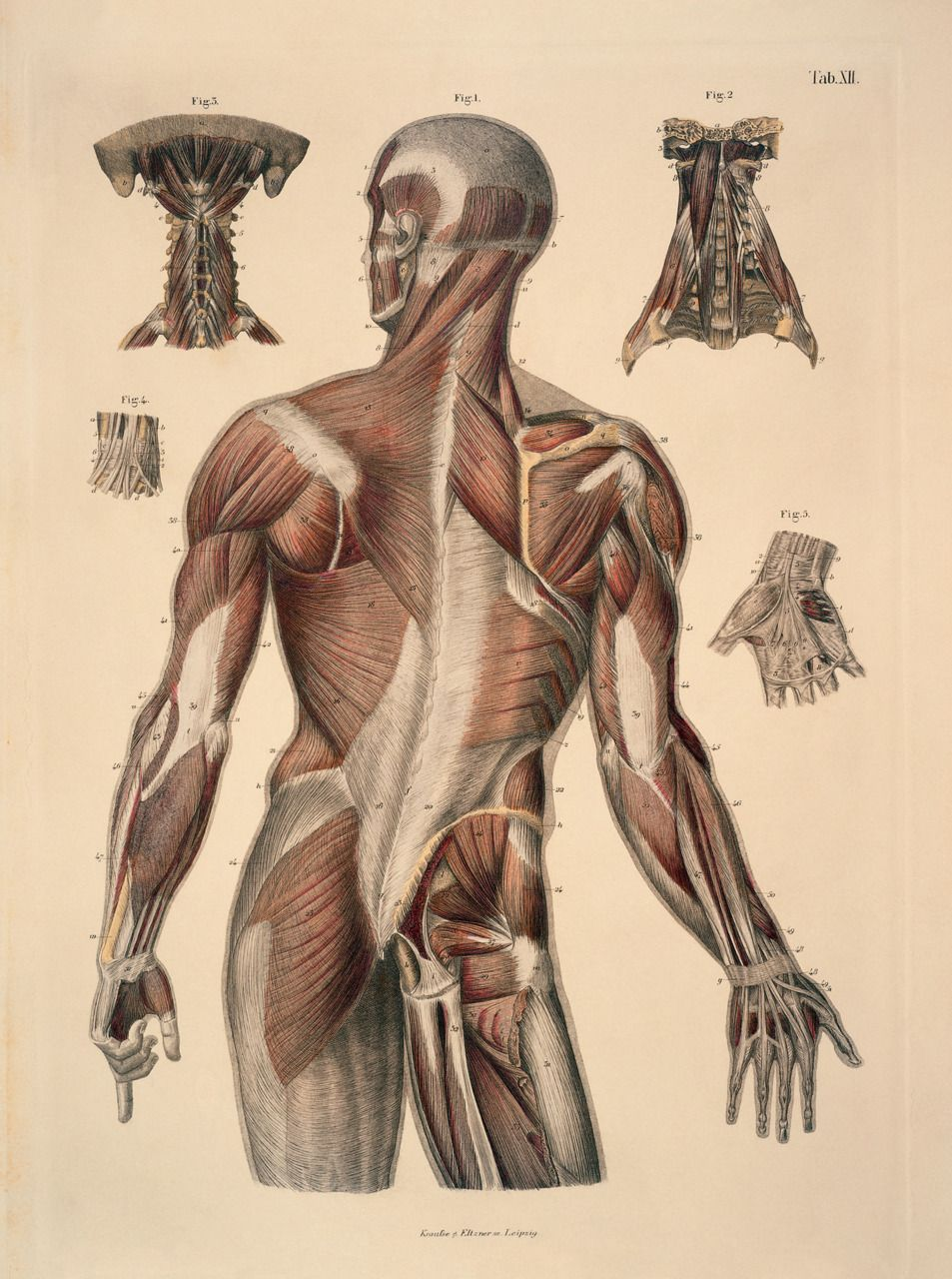 Anatomy Illustrations This Site Has A Ton You Got It So