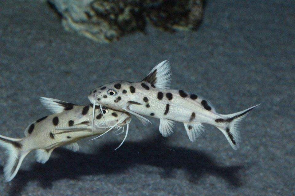 Image Result For Synodontis Polli White Tb Beautiful Fish Fish Pet Cichlids
