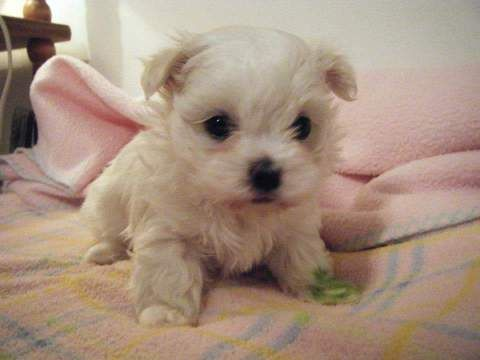 Litter Of 3 Maltese Puppies For Sale In Kansas City Ks Adn 26944