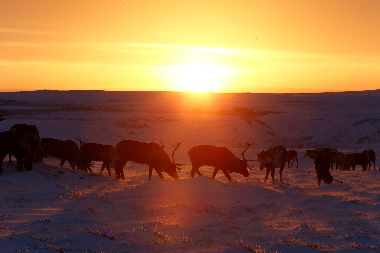 Reindeer herding in Russia's remote Arctic region Cool