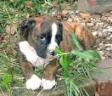 boxer photo, this picture was uploaded by AcanthaAlpha. Browse other boxer pictures and photos or upload your own with Photobucket free image and video hosting service.