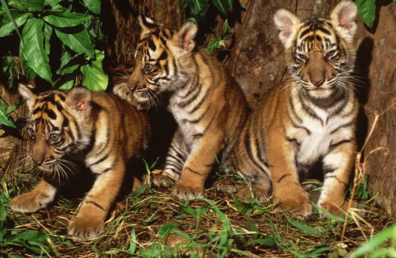 A hundred years ago there were 100,000 tigers in the wild. Today there are as few as 3,200.