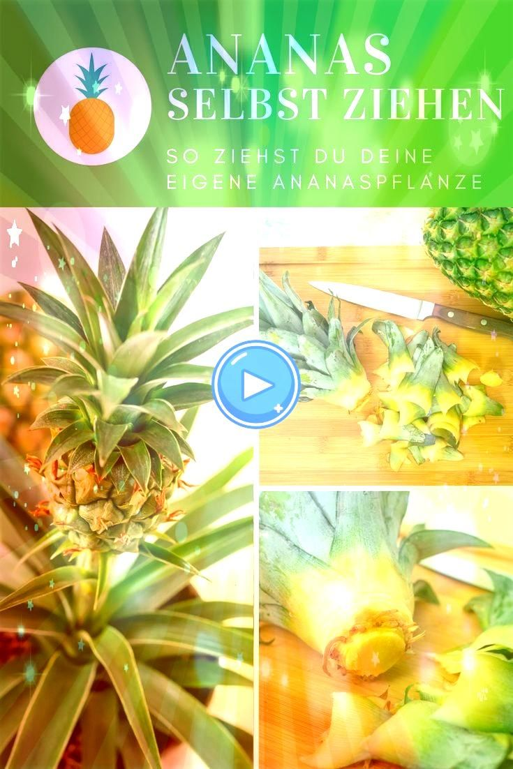 Gardening Pull pineapple yourself  Tropical feeling for the home Urban Gardening Pull pineapple yourself  Tropical feeling for the home Urban Gardening Pull pineapple you...