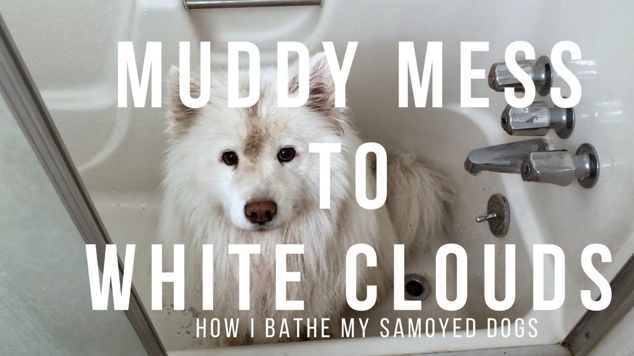 Mud Brown To White Samoyed Tips On How To Make Bath Time