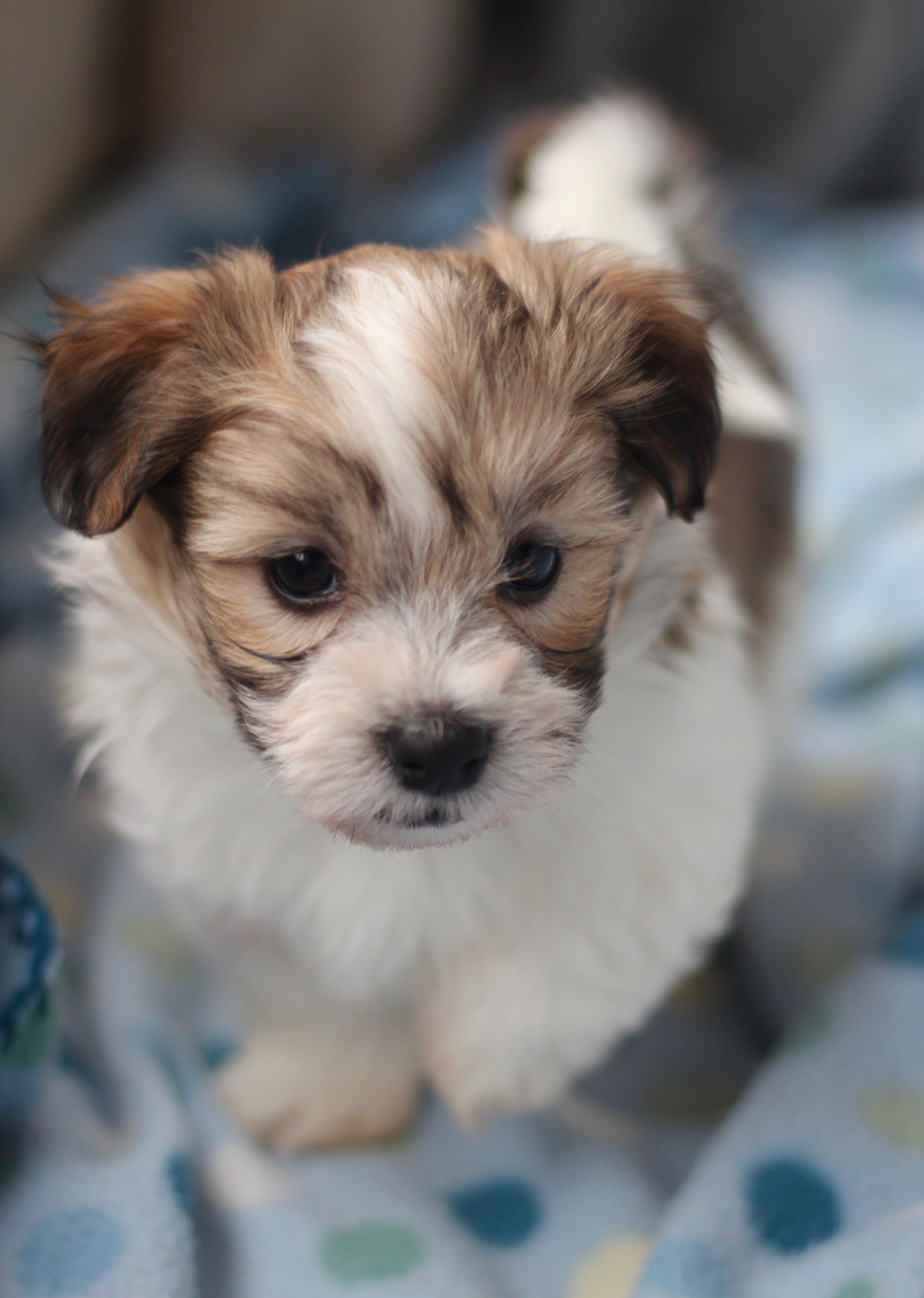 Our sweet Bichon Shih Tzu puppies! Shichon, Zuchon