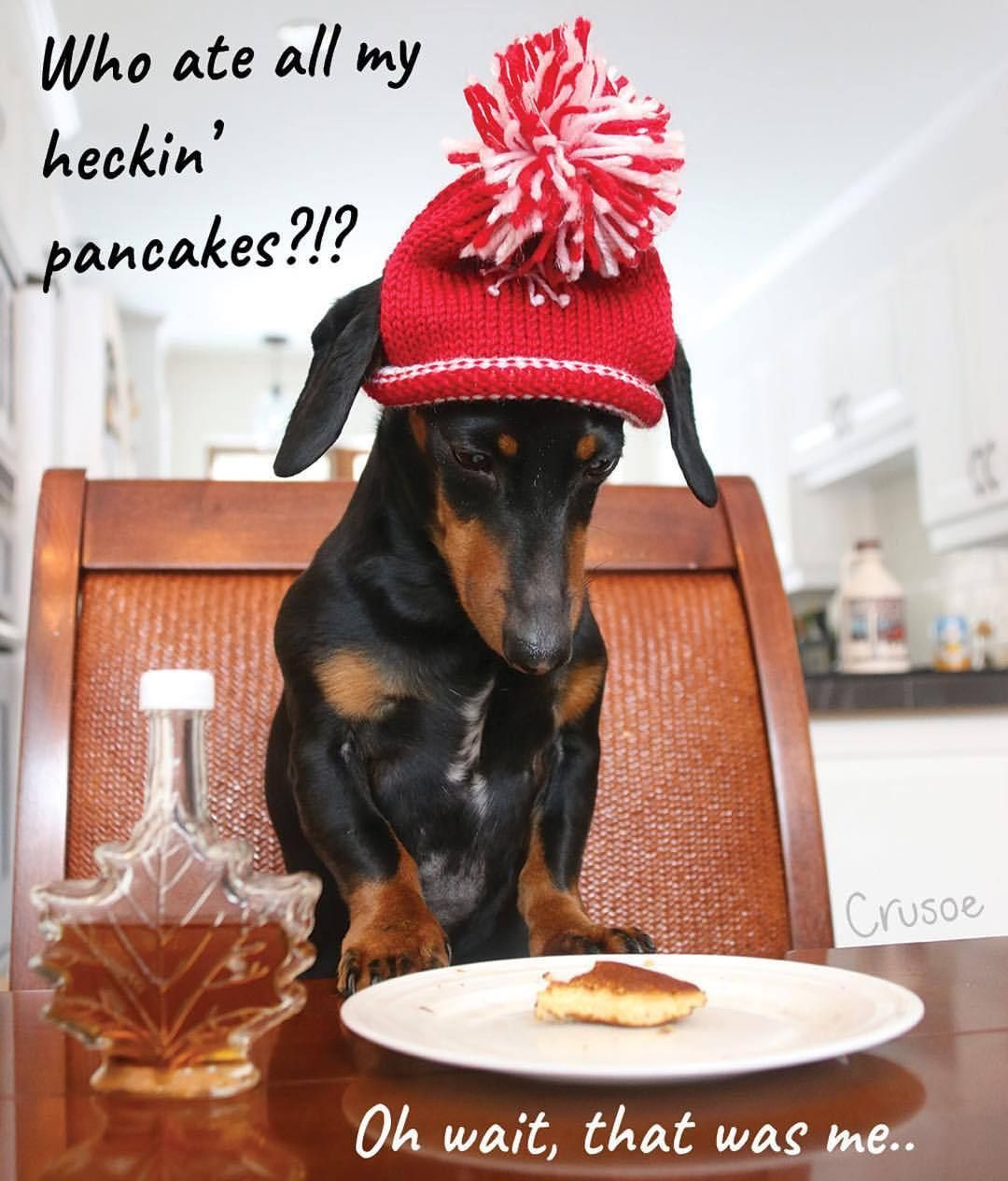 Even The Best Of Us Forget Occasionally Happy Nationalpancakeday Crusoe Tag Someone Crusoe The Celebrity Dachshund Funny Dachshund Dachshund Puppy Black