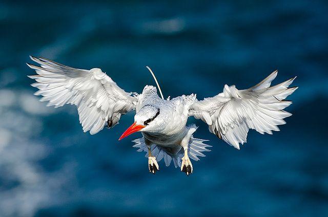 Foto rabo-de-palha-de-bico-vermelho (Phaethon aethereus) por Luiz Kagiyama | Wiki Aves - A Enciclopédia das Aves do Brasil