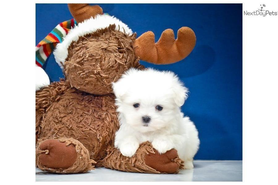 Maltese Puppy For Sale Near Columbus Ohio 954c56d5 6c6 Maltese
