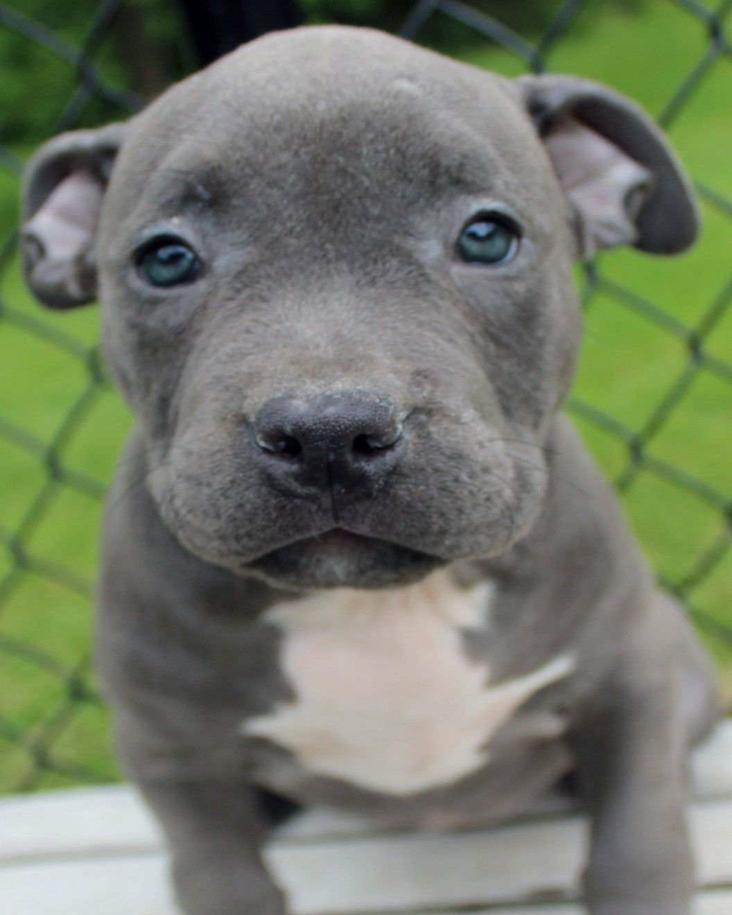 Xl pitbull puppies for sale canada