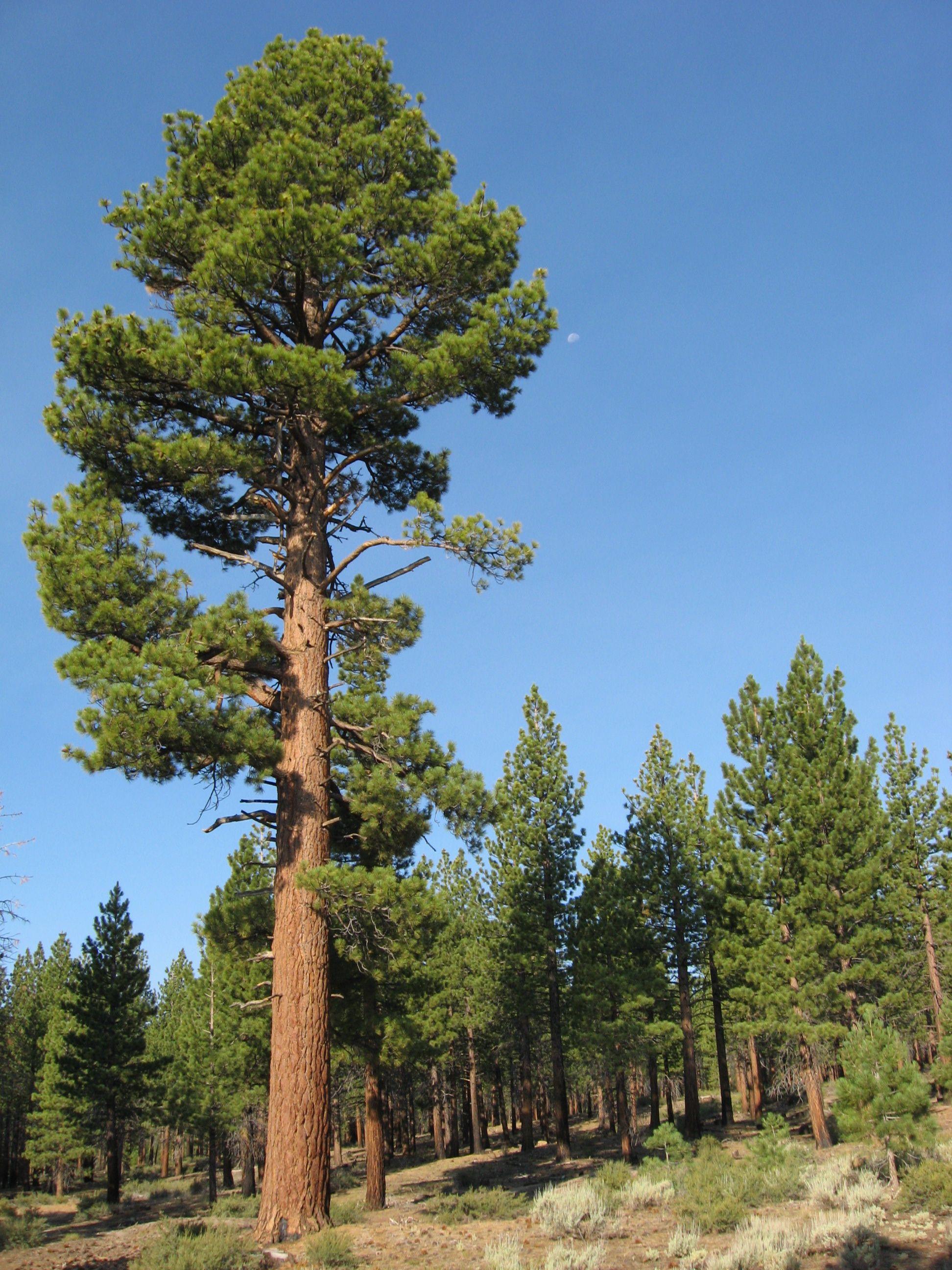 Pine Tree In Barcelona Transperfect: Jeffrey Pine Or Black Pine (Pinus Jeffreyi) Is A North